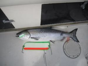A nice chinook caught last week!  Bloody Ghost Flasher..